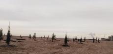 В песок намыва Васильевского острова посадили елки